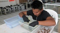 La mortandad de corales recrudece crisis del sargazo en el Caribe mexicano