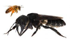 Hallan ejemplar de una abeja que se creía extinta: es cuatro veces más grande que una normal