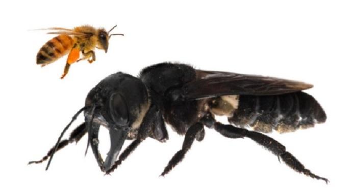 Megachile pluto   Clay Bolt. via Biobiochile