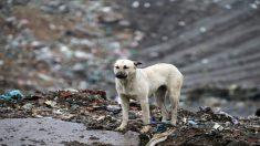 Rescatistas hallan un perro gigante congelado en un basurero mientras salvaban 800 perros sin hogar