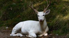 Esta cazadora tiene un inusual encuentro con un ciervo de cola blanca albino increíblemente raro