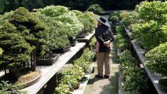"""Roban un bonsái de 400 años en Japón, y su dueño solo les pide a los ladrones que """"le den agua"""""""
