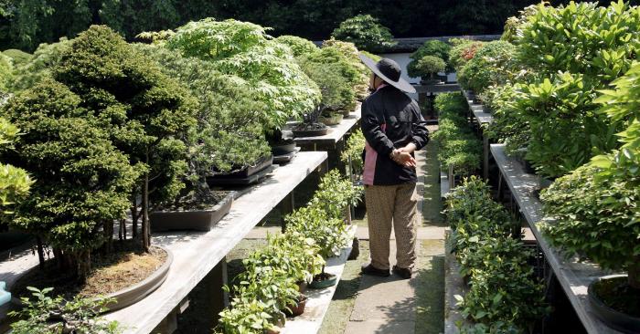 Un aficionado mira unos bonsaís en el Bonsai Mura, en Omiya, ciudad al norte de Tokio, (Japón). EFE/Archivo