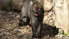 Captan por primera vez a un felino milenario en una región de Perú
