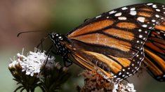 Descubren una colonia de mariposas monarca en el Nevado de Toluca, y otra en el Popocatépetl