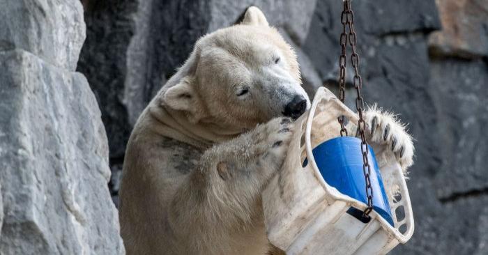 Un oso polar llamado Wolodja juega dentro de su recinto en el zoológico de Tierpark en Berlín, Alemania, el 4 de marzo de 2018. (Paul Zinken/AFP/Getty Images)