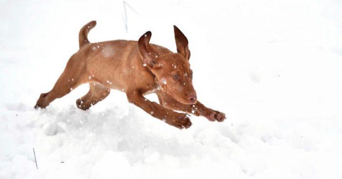 Prince, un perro Hungarian Vizsla, juega en la nieve en Belfast, Irlanda del Norte, el 17 de enero de 2018. (Charles McQuillan/Getty Images)