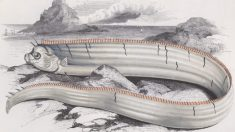 Revuelo en Perú por el hallazgo de raro pez que presagia terremotos y tsunamis