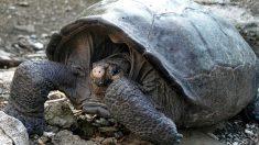 Hallan tortuga en Galápagos considerada extinta hace 100 años y renacen esperanzas