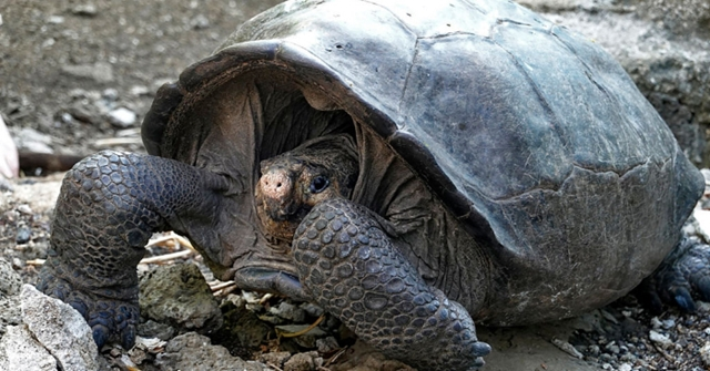 Un espécimen de la tortuga gigante de Galápagos Chelonoidis phantasticus, que se creía extinguida hace un siglo, es visto en el Parque Nacional Galápagos, en la Isla Santa Cruz en el Archipiélago de Galápagos, Océano Pacífico a 1000 km de la costa de Ecuador, el 19 de febrero de 2019. (Foto de RODRIGO BUENDIA/AFP/Getty Images)