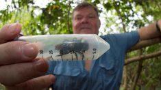 Descubren ejemplar de abeja más grande del mundo por primera vez en 38 años