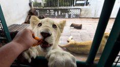 México: entre drama, golpes y llanto rescatan a las 3 leones de una azotea en plena ciudad