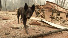 Perro logra reunirse con su familia 101 días después de los incendios de California