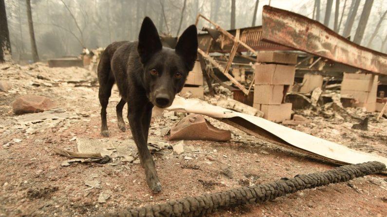 Suzie, una perra del Departamento de Policía, busca restos humanos en propiedades quemadas en Paradise, California, el 14 de noviembre de 2018.  (JOSH EDELSON/AFP/Getty Images)