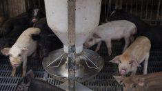 China comienza a usar tecnología de reconocimiento facial para cerdos