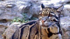 Avistan leopardo nublado de Formosa que se creía extinto en Taiwán