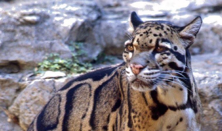 Leopardo nublado de Formosa. Imagen de archivo. (Wikimedia)
