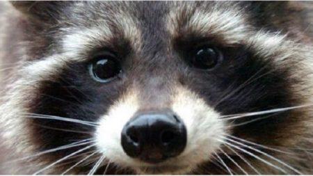 Fallece Oreo el mapache que inspiró a Rocket Raccoon en Guardianes de la Galaxia