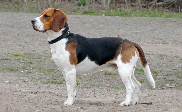 Perro de caza beagle en una imagen de archivo (Wikimedia Commons)