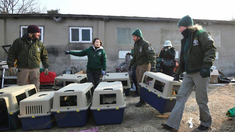 Miembros de Humane Society International llevan a los perros en cajas para transportarlos a una granja canina durante una operación de rescate. (Jung Yeon-je/Getty Images)