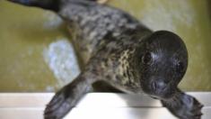 Rescatan a 100 focas bebé de la caza furtiva china y las trasladan a parques de vida silvestre