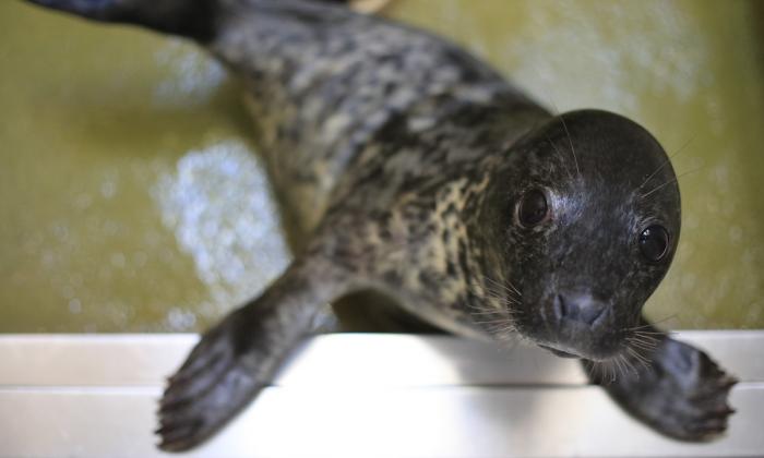 Bebé foca rescatado (Matt Cardy/Getty Images)
