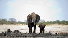 Indignación por exportación de elefantes bebés de Zimbabwe a China