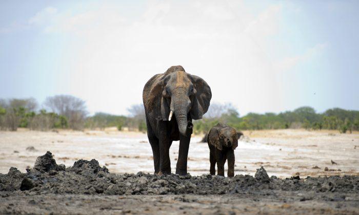 Un elefante africano y su bebé son fotografiados el 18 de noviembre de 2012, en el Parque Nacional Hwange en Zimbabwe. (Martin Bureau/AFP/Getty Images)