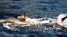 Pescadores capturan un gran tiburón blanco en un lugar inesperado y lo devuelven al agua