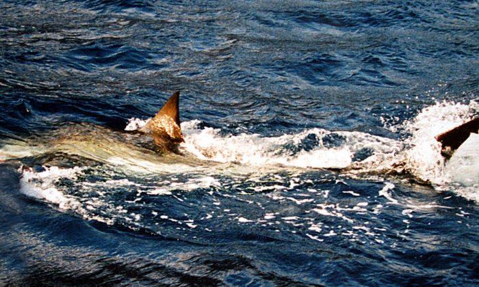 Imagen de archivo de un gran tiburón blanco. (Brocken Inaglory/Wikimedia Commons)