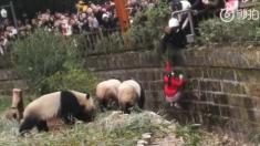 Niña cae en un foso de pandas y un guardia la rescata a último momento