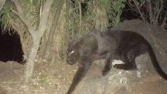 Fotografían a leopardo negro extremadamente raro visto por última vez hace 100 años