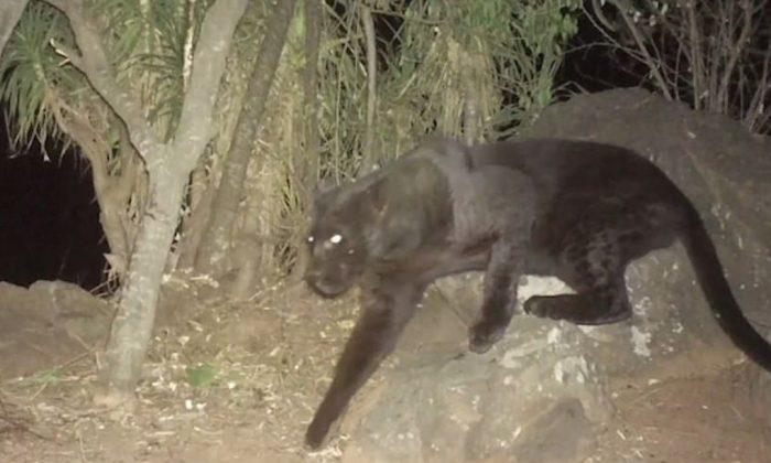 Captura de un video del zoológico de San Diego que muestra al leopardo negro en Kenia. (Zoológico de San Diego)