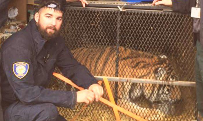 Un tigre dentro de una jaula, encontrado por agentes de policía en Houston, el 11 de febrero de 2019. (BARC)