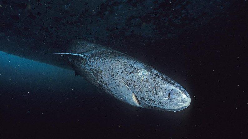 Tiburón de Groenlandia. (Wikimedia Commons)