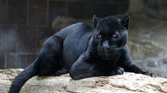 Mujer herida por jaguar se disculpa y dice que el zoológico debería mover la barrera
