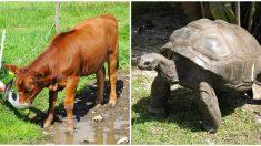 Este ternero y una tortuga solitaria comparten una relación muy especial que jamás habrías imaginado