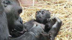 Gorila que sobrevivió la muerte y el abandono ahora tiene su propio bebé después de una cesárea