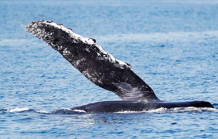 Fotografía de una ballena jorobada o yubarta el pasado miércoles 27 de febrero de 2019, cerca de Escuintla, en el Pacífico guatemalteco. Una pareja de ballenas jorobadas nada mar adentro junto a su cría, que pesa 1,5 toneladas al momento de su nacimiento. La pequeña familia pasea cerca de las costas del pacífico guatemalteco. La mayor se recuesta y con su enorme aleta saluda amistosamente a las embarcaciones que se acercan. EFE/Esteban Biba