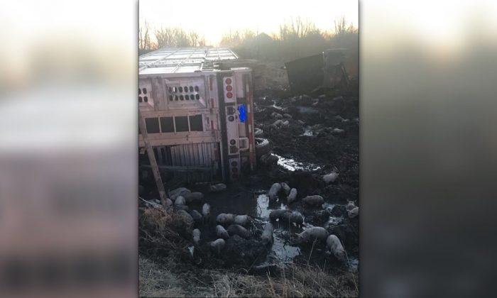 La escena de un accidente de tráfico en el que un camión que transportaba cerca de 3000 lechones volcó al oeste de Casey, Illinois, el 22 de marzo de 2019. (Policía del Estado de Illinois Distrito 12 Effingham)