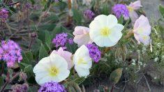 Un jardín durmiente y colorido florece en un desierto de EE.UU.