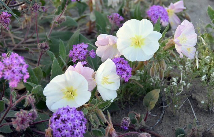 En el desierto californiano de Anza-Borrego, como resultado de inviernos muy húmedos, florece un colorido jardín que atrae a amantes de la naturaleza para admirar un fenómeno cíclico, que en lo que va del presente siglo ha ocurrido cuatro veces. EFE/Iván Mejía.