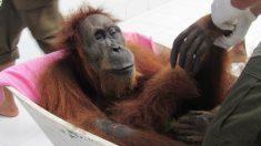 Se recupera Esperanza, la orangután de Indonesia que perdió su bebé y recibió 74 perdigones
