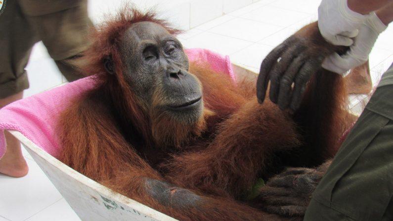 Varios veterinarios trasladan a una orangután hembra sometida a una operación para extraerle los 74 perdigones de una escopeta de aire comprimido que impactaron en su cuerpo, en el centro de rehabilitación de orangutanes de Medan, Sumatra Norte (Indonesia) el 10 de marzo de 2019, en una imagen facilitada este viernes. El animal fue encontrado junto a su cría, que murió finalmente por malnutrición y deshidratación. (EFE/Yel Socp/Suryadi )