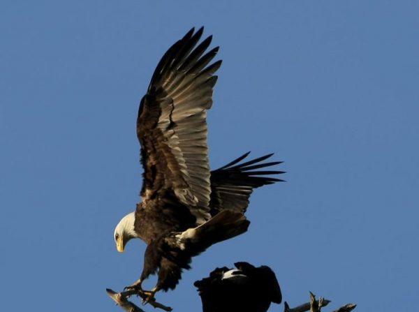 Un par de águilas calvas se posan en un árbol cerca de English Bay, Vancouver, en marzo de 2009. (Doug Pensinger/Getty Images)