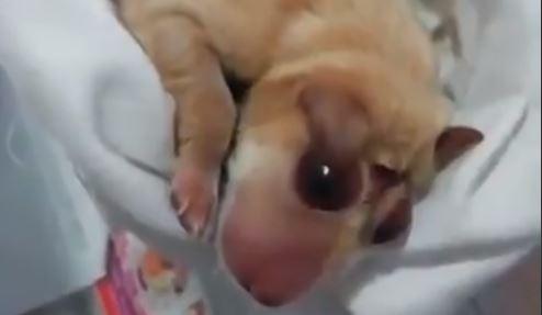 Cachorro con anencefalia nacido el Puerto Puerto Petrolero, Colombia. (Captura de vídeo)