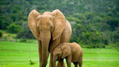 """Botsuana vuelve a permitir la caza de elefantes tras 4 años de veto: tuvo un """"impacto negativo"""""""
