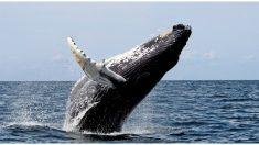 Una ballena de 23 toneladas esconde a una mujer bajo su aleta para protegerla de los tiburones