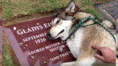 Este perro lobo está tan triste, que no puede dejar de llorar sobre la tumba de su fallecida amiga