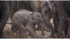 Video: manada de elefantes corre a saludar al nuevo bebé huérfano del santuario, ¡tan adorable!